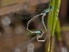 Sphagnum Sprite (mating wheel)