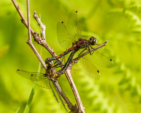 Hudsonian Whiteface (mating wheel)