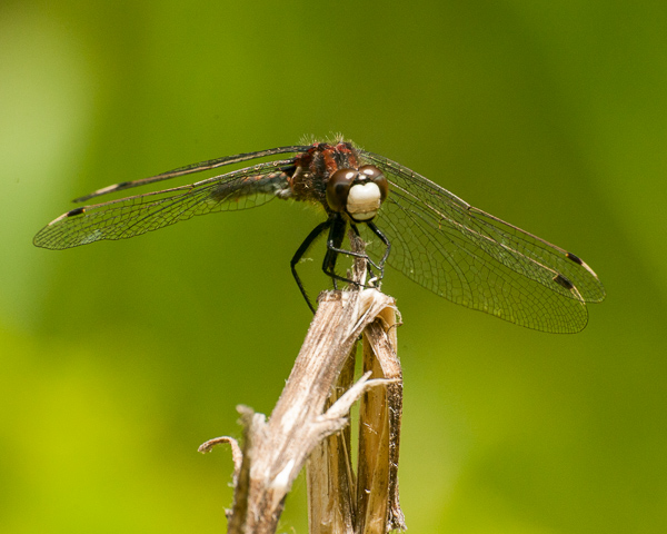 Hudsonian Whiteface (male)