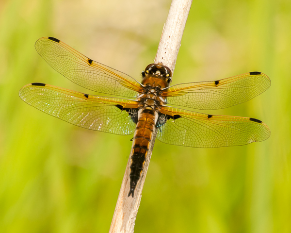 Four-spotted Skimmer (female)