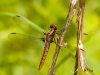 Chalk-fronted Corporal (female)