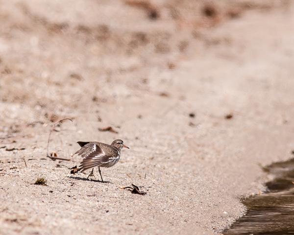 Spotted Sandpiper #1