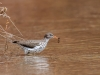 Spotted Sandpiper with Prey