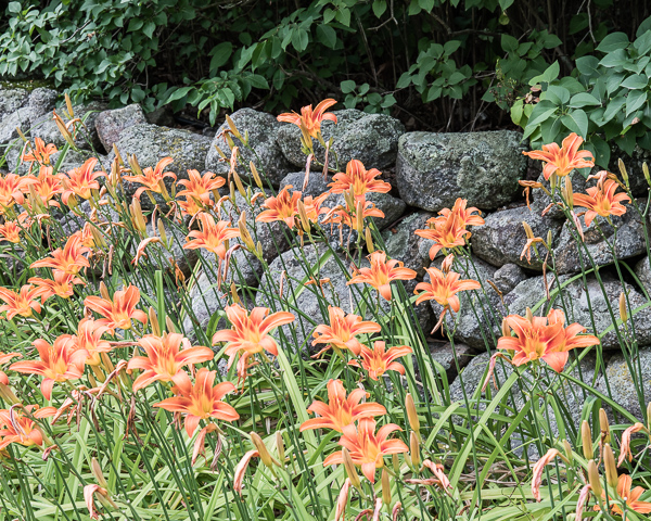 Day Lilies and Stone Wall