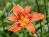 Day Lily #2