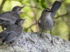 Gray Catbirds (Adult and Fledglings)