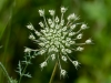 Queen Anne's Lace #2