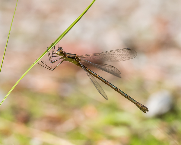 Spreadwing #1