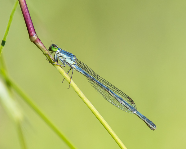 Eastern Forktail (female)
