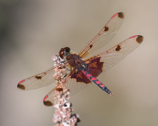 Calico Pennant (male)