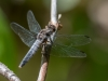 Chalk-fronted Corporal #2