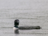 Common Loon #2