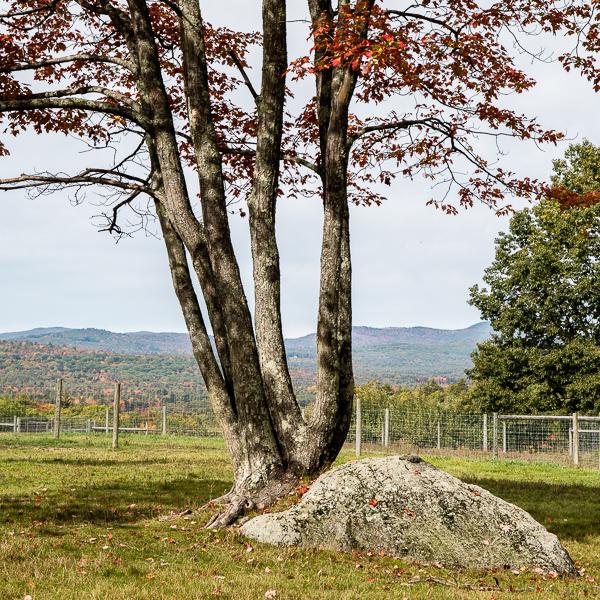 Pasture Tree #2