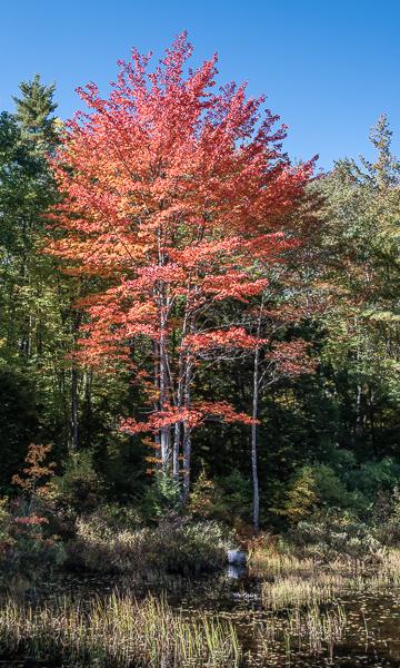 Maple in Full Autumn Display