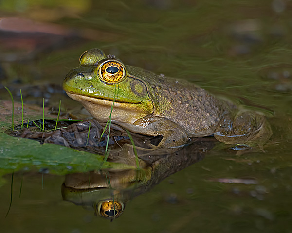 Green Frog #1