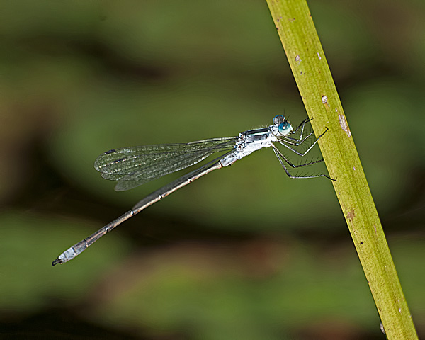 Spreadwing sp?