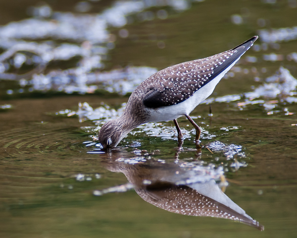 Solitary Sandpiper Foraging #1