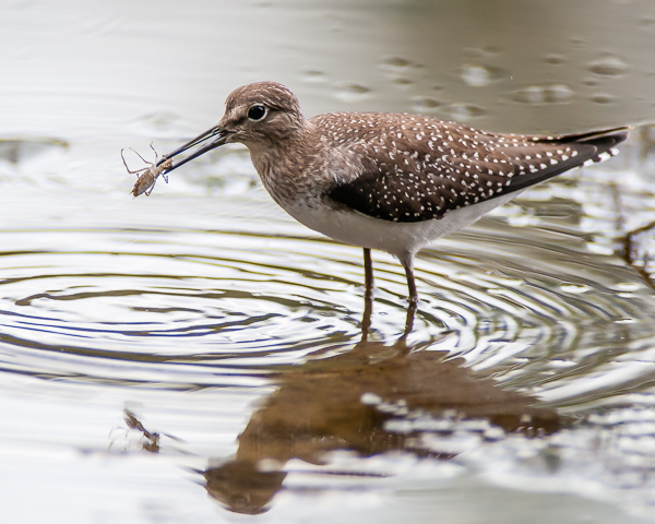 Solitary Sandpiper with Prey