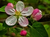 Apple Blossom #1