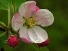 Apple Blossom #3