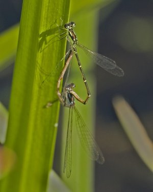 Fragile Forktails (Mating Wheel)