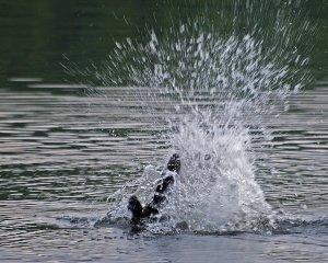 Beaver Tail Slap