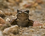 Leopard Frog (immature)