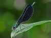 ebony jewelwing (male) with prey