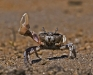 Fiddler Crab (1 of 3)