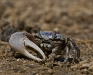Fiddler Crab (2 of 3)
