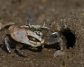 Fiddler Crab (3 of 3)