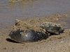 Horseshoe Crab Pair (3 of 4)