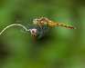White-faced Meadowhawk (female)