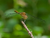 Meadowhawk (exact sp? - female)