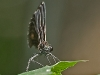 Ebony Jewelwing (female)