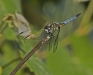 Dragonfly (sp. unknown)