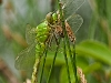 Common Pondhawk (female, teneral) 3