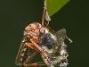 Robberfly with Prey #1