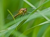 teneral meadowhawk (exact species difficult to say; same with sex)