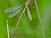 teneral spreadwing - Swamp? Elegant?