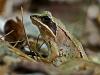 Wood Frog #2