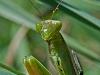 Praying Mantis #1
