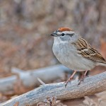 Chipping Sparrow #1