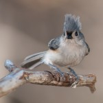 Tufted Titmouse (the Don King version)