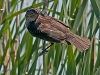 Red-winged Blackbird (female) with Prey