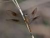 Seaside Dragonlet (female)