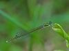 Sedge Sprite (male)