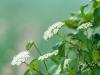 Wildflower (ID Needed)