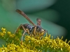 Wasp on Goldenrod