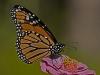 Monarch on Garden Flower